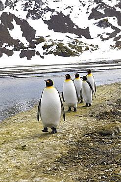 King Penguins (Aptenodytes patagonicus) on the plain of Right Whale Bay, South Georgia Island, Antarctic, Polar Regions