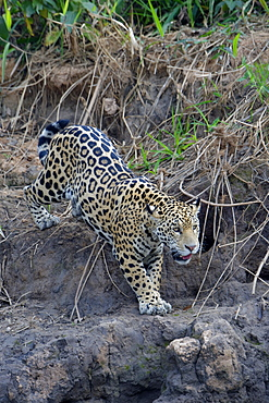 Young jaguar (Panthera onca) stalking on riverbank, Cuiaba River, Pantanal, Mato Grosso State, Brazil, South America
