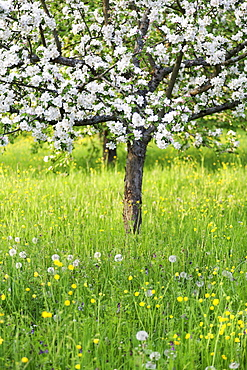 Blossoming apple tree, Baden Wurttemberg, Germany, Europe