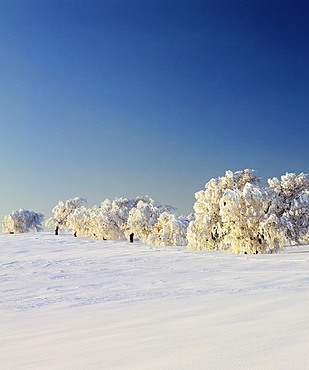 Snow-covered birch trees, Schauinsland Mountain, Black Forest, Baden Wurttemberg, Germany, Europe