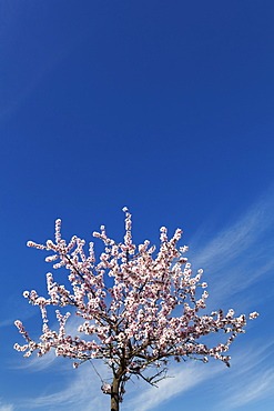 Blossoming almond tree against blue sky, Gimmeldingen, Neustadt an der Weinstrasse, Deutsche Weinstrasse (German Wine Road), Rhineland-Palatinate, Germany, Europe