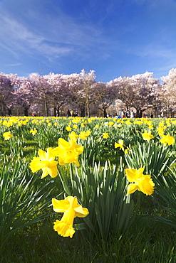 Cherry blossom and narcissi blossom, Palace garden, Schloss Schwetzingen Palace, Schwetzingen, Baden Wurttemberg, Germany, Europe