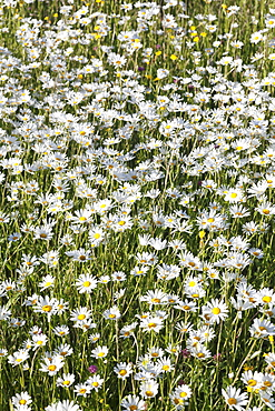 Flower meadow with marguerites (Leucanthemum vulgare), Baden Wurttemberg, Germany, Europe