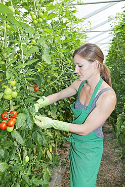 Young woman picking tomatoes in a greenhouse, Esslingen, Baden Wurttemberg, Germany, Europe