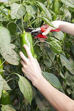 Young woman picking green peppers in a greenhouse, Esslingen, Baden Wurttemberg, Germany, Europe