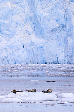 Harbour Seals (Phoca Vitulina) on an iceberg, blue ice of Aialik Glacier, Kenai Fjords National Park, near Seward, Alaska, United States of America, North America