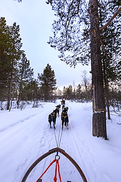 Alaskan husky pulled dog sleds speed through snowy forest, twilight in winter, Alta, Finnmark, Arctic Circle, North Norway, Scandinavia, Europe