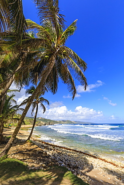 Bathsheba, windswept palm trees, Atlantic waves, rugged East Coast, Barbados, Windward Islands, West Indies, Caribbean, Central America