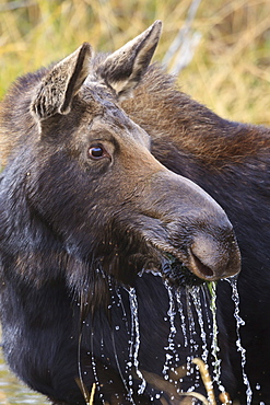 Moose (Alces alces) cow dribbles after feeding, autumn (fall), Grand Teton National Park, Wyoming, United States of America, North America