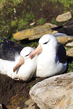 Black-browed albatross (Thalassarche melanophrys) bonding behaviour at nest, the Neck, Saunders Island, Falkland Islands, South America