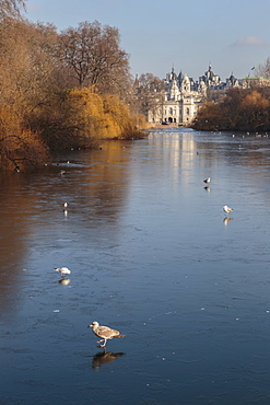 Sea birds (gulls) on ice covered frozen lake with Westminster backdrop in winter, St. James's Park, London, England, United Kingdom, Europe