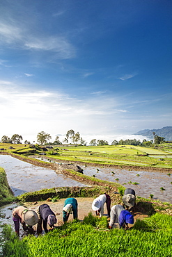 Rice farmers in rice paddy fields, Tana Toraja, Sulawesi, Indonesia, Southeast Asia, Asia