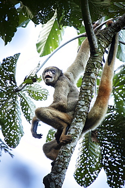 Critically endangered Northern Muriqui (woolly spider monkey) (Brachyteles hypoxanthus) in Brazil's Atlantic coastal rainforest, Minas Gerais, Brazil, South America