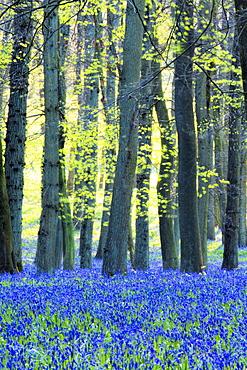 Ancient bluebell woodland in spring, Dockey Wood, Ashridge Estate, Berkhamsted, Hertfordshire, England, United Kingdom, Europe