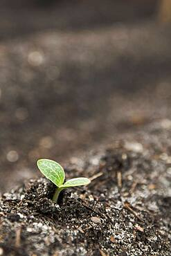 Close up of seedling growing in dirt