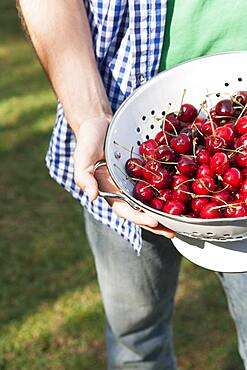 Close up of hands holding colander of cherries