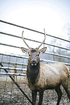 Elk standing by fence on ranch