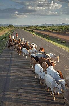 Herd of cattle walking on road