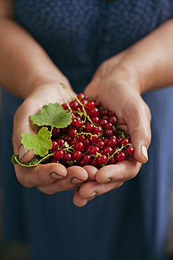 Hands holding red berries