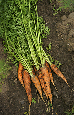 Close up of carrots in dirt