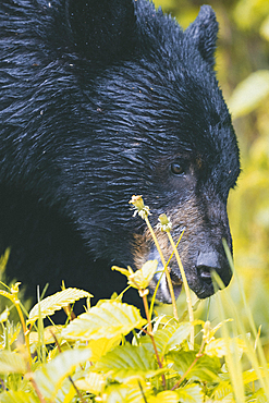 Close up of face of wet bear eating foliage