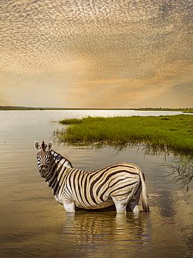 Zebra wading in river