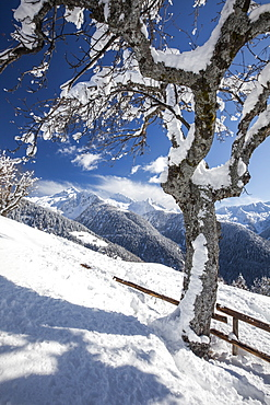 The branches of a solitary tree covered in snow and the mountain range of the Alps in the background, Albaredo, Lombardy, Italy, Europe