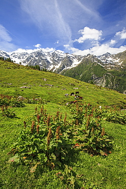 Green meadows and cows grazing on a sunny summer day, Orobie Alps, Arigna Valley, Sondrio, Valtellina, Lombardy, Italy, Europe