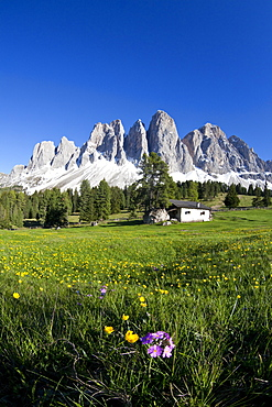 Spring flowers in the pastures of the Puez-Odle Nature Park in South Tyrol, Italy, Europe