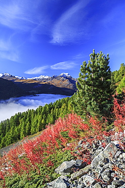 The blue sky above the Engadine Valley still shrouded in a thick fog, on an autumn day, and red weeds, Graubunden, Switzerland, Europe
