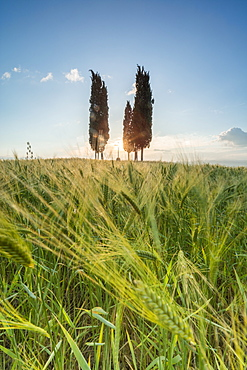 Fields of ears of corn and cypresses on the gentle green hills of Val d'Orcia, UNESCO World Heritage Site, Province of Siena, Tuscany, Italy, Europe