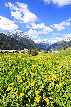 Yellow flowers framed by snowy peaks around the village of Guarda, Inn District, Engadine, Canton of Graubunden, Switzerland, Europe