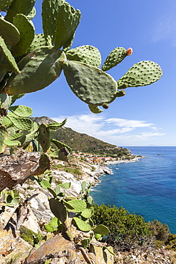 Prickly pears on rocks above the sea, Pomonte, Marciana, Elba Island, Livorno Province, Tuscany, Italy, Europe