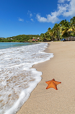 A starfish transported by waves lying motionless on Carlisle Bay, a thin line of sand washed by the Caribbean Sea, Antigua, Leeward Islands, West Indies, Caribbean, Central America