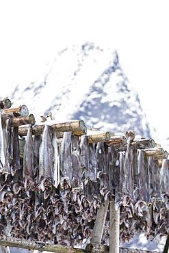Stockfish on wood racks, Lofoten Islands, Nordland, Norway, Europe