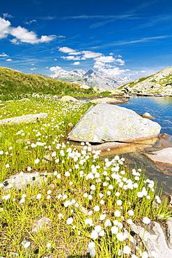 Cotton grass on the shore of lake Bergsee, Spluga Pass, canton of Graubunden, Switzerland, Europe