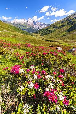 White and fuchsia coloured rhododendrons, Spluga Pass, canton of Graubunden, Switzerland, Europe