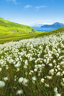 Cotton grass during summer bloom, Gjogv, Eysturoy island, Faroe Islands, Denmark, Europe