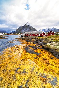 Sea covered with yellow seaweed during autumn, Reine, Nordland, Lofoten Islands, Norway, Europe
