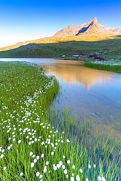 Sunrise over Monte Gavia and cotton grass on shores of Lago Bianco, Gavia Pass, Valfurva, Valtellina, Lombardy, Italy, Europe