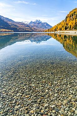 Colorful larch trees mirrored in Lake Silvaplana in autumn, St. Moritz, Engadine, canton of Graubunden, Switzerland, Europe