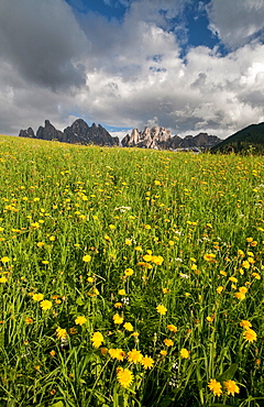 A threatening sky contrasting with a blooming field in the Puez-Odle National Park, Dolomites, South Tyrol, Italy, Europe