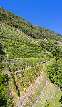 Rows of terraced vineyards, Costiera dei Cech, Valtellina, Sondrio province, Lombardy, Italy, Europe