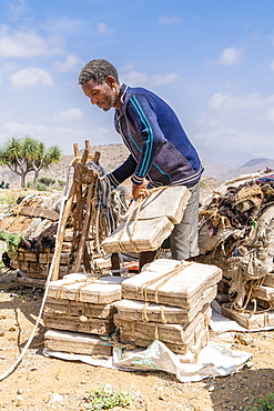 Miner picking up salt blocks extracted from salt flats, Dallol, Danakil Depression, Afar Region, Ethiopia, Africa