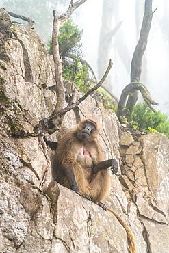 Gelada baboon monkey, Simien Mountains National Park, Ethiopia, Africa