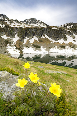 Yellow flowers during the spring bloom surrounding Porcile Lakes, Tartano Valley, Valtellina, Sondrio province, Lombardy, Italy, Europe