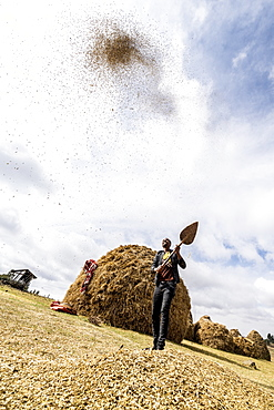 Man throwing wheat up in the air during threshing, Wollo Province, Amhara Region, Ethiopia, Africa