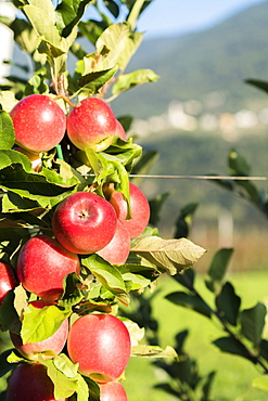 Close up of red apples in the orchard, Valtellina, Sondrio province, Lombardy, Italy, Europe