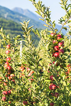 Juicy red apples on apple tree branch in the orchard, Valtellina, Sondrio province, Lombardy, Italy, Europe