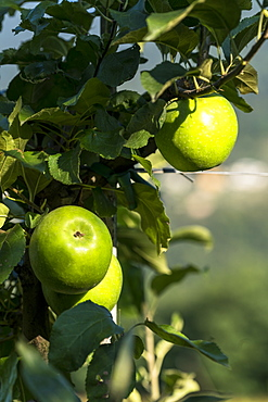 Isolated yellow apples growing in the orchards, Valtellina, Sondrio province, Lombardy, Italy, Europe